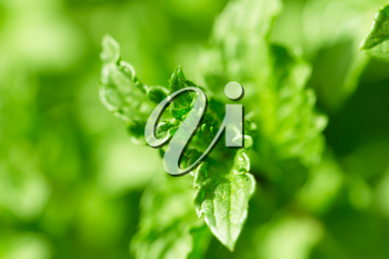 Beautiful mint leaves in nature
