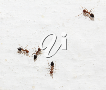ants on a white background. macro
