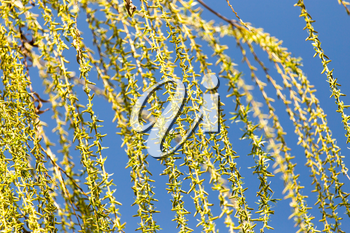 yellow flowers on willow branches in nature .
