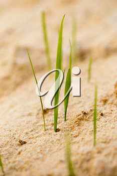 green grass in the sand in the nature .