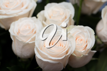 beautiful background of roses
