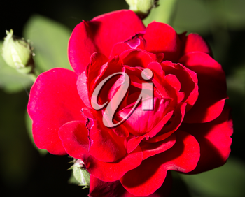 beautiful red flower in nature