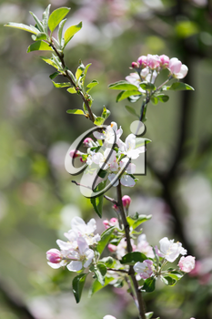 beautiful flowers on the apple tree in nature