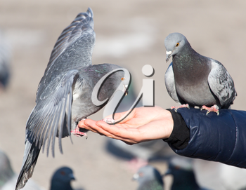 Pigeon on the hand on nature