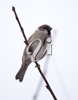 sparrow on bare tree branches