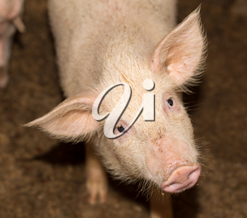 portrait of a pig on the farm