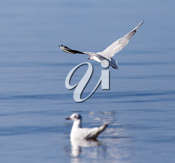 Gull on the lake in nature