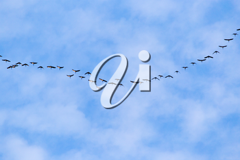 flock of swans flying against a blue sky in the south