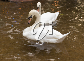 two swans on the pond