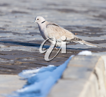 dove in nature in winter