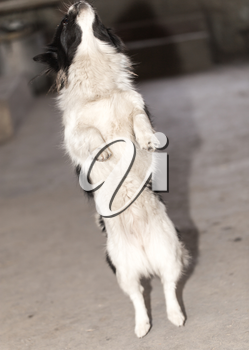dog standing on his hind legs