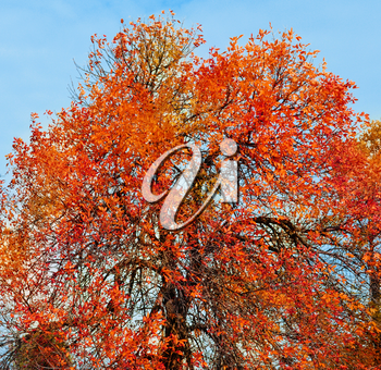 Autumn tree with yellow and red leaves