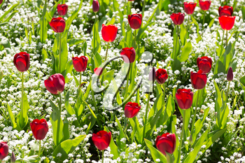 Background of growing tulips on the background color.