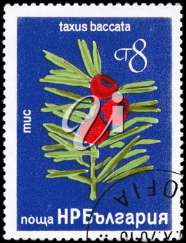 BULGARIA - CIRCA 1976: A Stamp printed in BULGARIA shows image of a Yew with the description Taxus baccata, series, circa 1976
