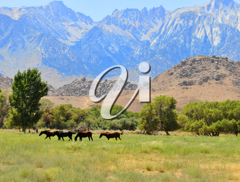 Royalty Free Photo of Horses in the High Sierras