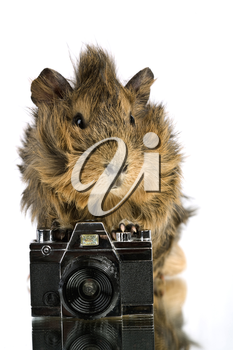 Royalty Free Photo of a Guinea Pig With a Camera