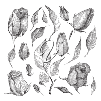 Roses Botanical set. Black and white Dotwork Flowers. Vintage engraved illustration style.