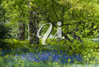 Carpet of bluebells in full bloom in a shady glade