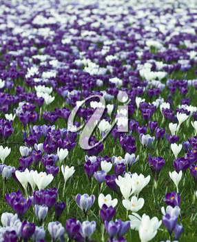 Field of vibrant purple and white crocuses