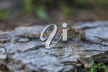 Female Common Darter Dragonfly soaking up the morning sun