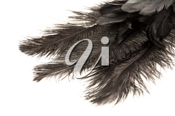 Black feathers on a white background, closeup picture.
