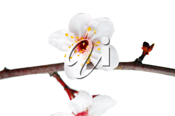 Branch with blossoms. Isolated on white background
