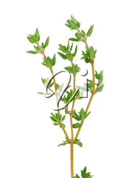 Royalty Free Photo of a Sprig of Thyme
