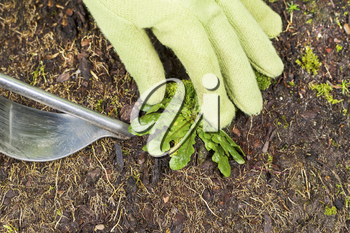 Horizontal photo of gloved hand holding weed and tool removing it from soil