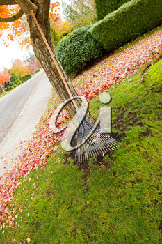 Vertical photo of fan rake leaning against maple tree with autumn leaves lying on the lawn in background