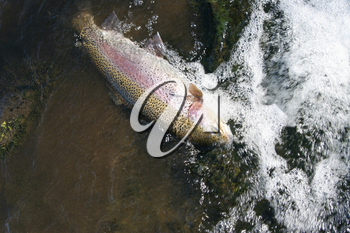 Horizontal photo of a large trout being pulled from river in fast water