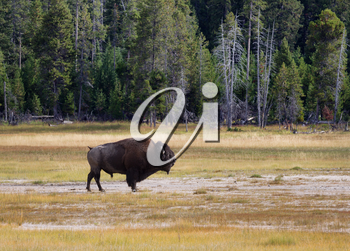 Side view of a single large senior North American Buffalo standing in the Yellowstone Park prairie
