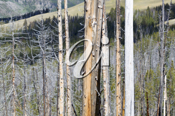 Horizontal image of weathered trees within Yellowstone National Park with hills in background