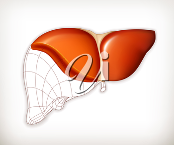 Liver structure, vector