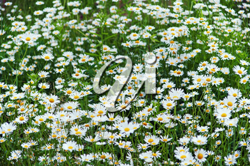 Green flowering meadow with white daisies. Selective focus.