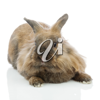 Rabbit (Lion head) isolated on white background. Closeup.