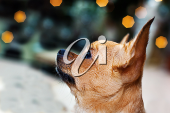 Purebred red chihuahua dog on bokeh background.