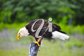 Royalty Free Photo of a Bald Eagle (Haliaeetus Leucocephalus) on a Post