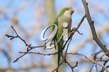 Beautiful Monk Parakeet  perched on a tree trunk in Barcelona, Spain.