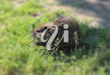 muskrat cub in search of food on green grass