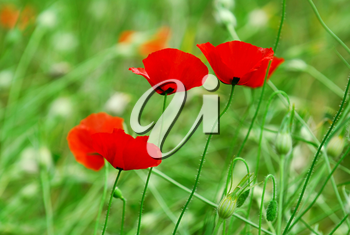 Poppy flowers growing in a summer meadow