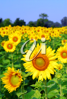 Blooming field of yellow sunflowers in summer
