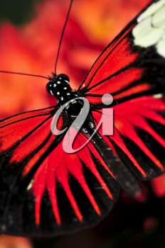 Red heliconius dora butterfly with open wings
