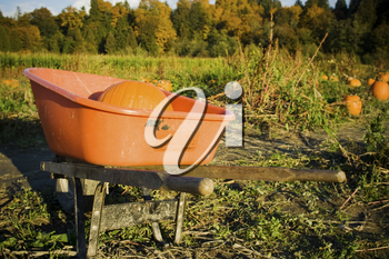 A shot of a pumpkin in a wagon at the pumpkins patch