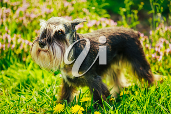 Small Miniature Schnauzer Dog (zwergschnauzer) Sitting In Green Grass Outdoor. Adult Black-and-silver With Natural Ears, The Long Eyebrows And Full Beard.