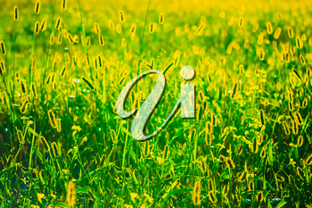 Fresh Green AND Yellow Colors Summer Grass Meadow Close-Up With Bright Sunlight. Sunny Spring Background