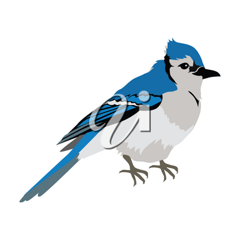 Blue jay vector. Birds wildlife concept in flat style design. North America fauna illustration for prints, posters, childrens books illustrating. Beautiful jay bird seating isolated on white.