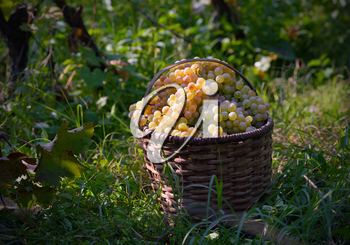 basket full of white grapes lying on the grass in the vineyard