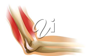 Illustration of the human elbow on a white background