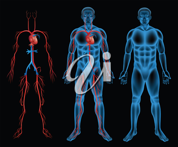 Illustration of the male circulatory system