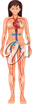 Illustration of isolated human circulatory system - female